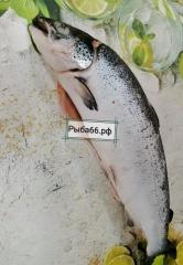 Лосось с головой Мурманск 1 шт 3-4 кг